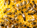 Waggle dance of the honeybee - new publication by Ai et al.